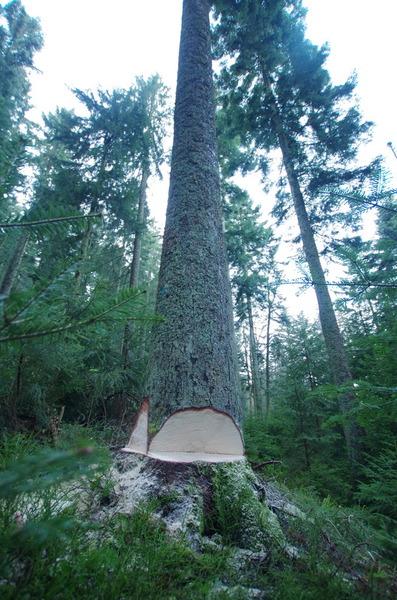 マルサ工業 もみの木伐採2