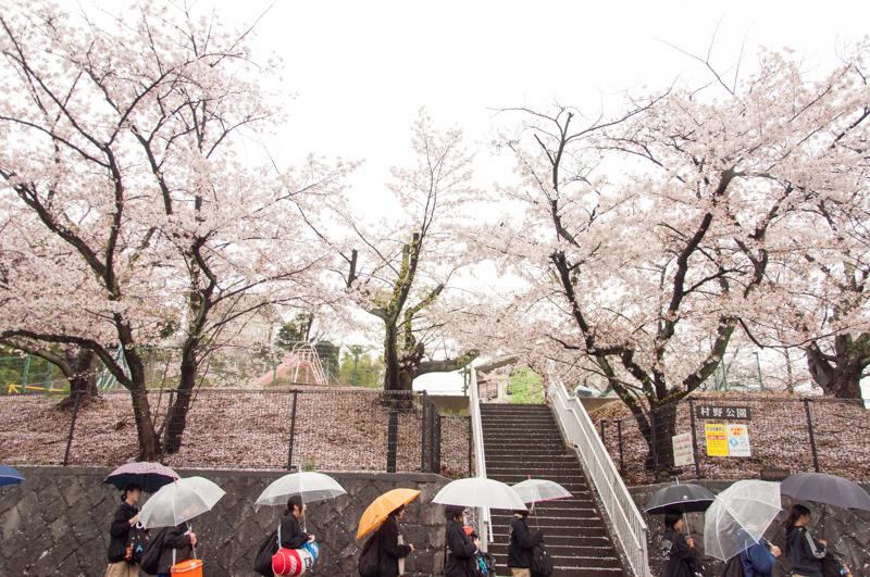 20150405桜丘村野桜-45