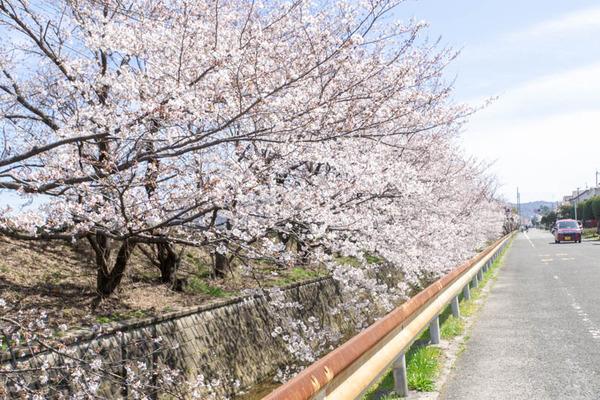 明るめ桜-19040511