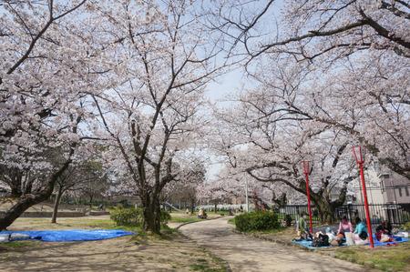 牧野公園の桜-3