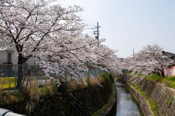 交野 桜-2103291-8