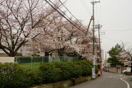 大阪市立高校の桜130327-01