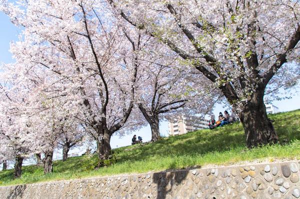 桜amatu -2103311