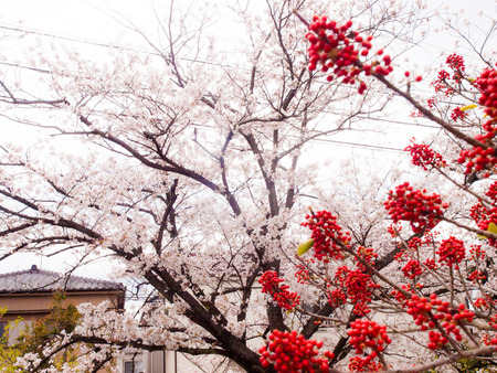 倉治桜堤-1404057