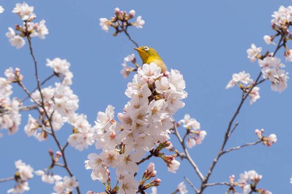 山田池桜の道-2103233-2