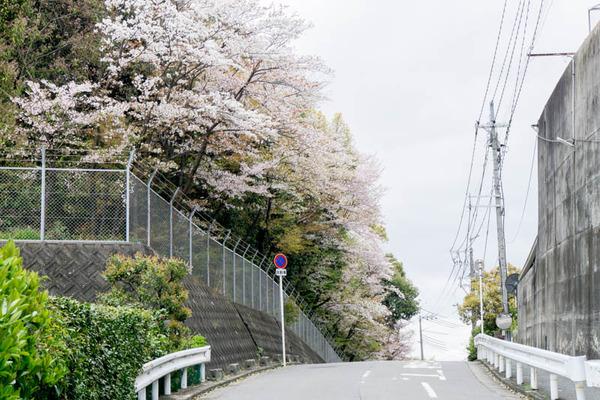 桜2-1704121