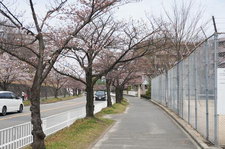 香里ヶ丘の桜-1
