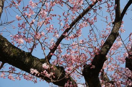 桜130319_02