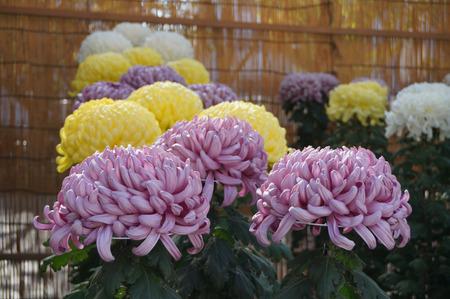 菊花展131105-03