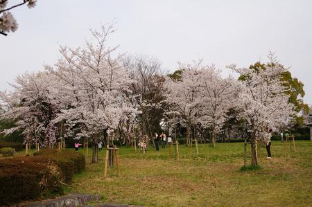 王仁公園の桜130404-04