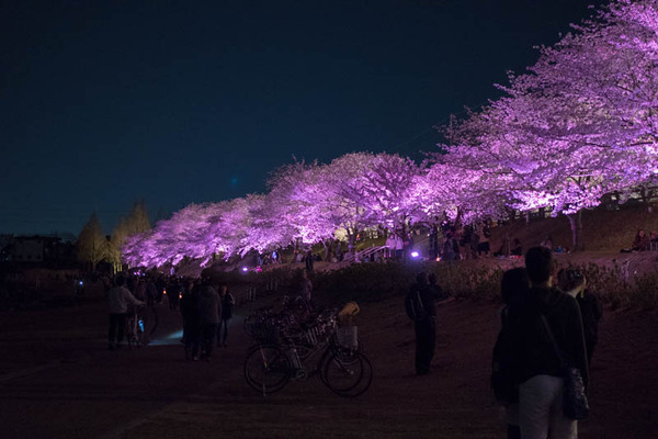 寝屋川桜-18033016