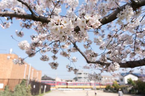 南中振公園桜-15033145