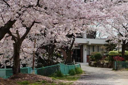 茄子作の桜130401_03
