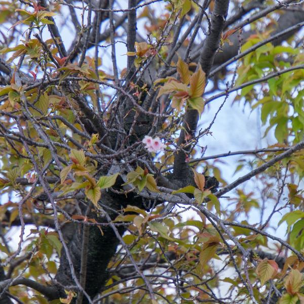 桜-2003243