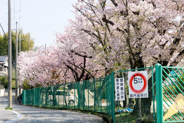 桜-1704142
