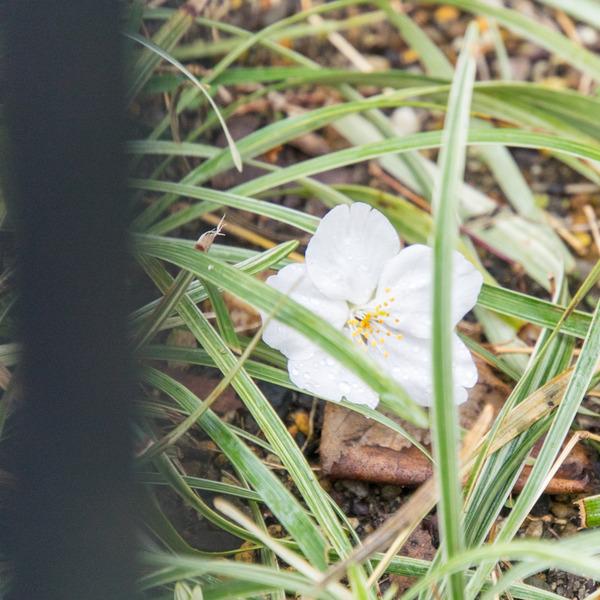 桜-2003276