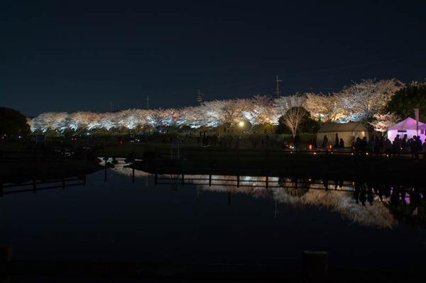 寝屋川桜-1803303