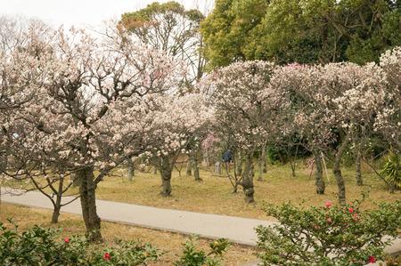 意賀美神社の梅-1