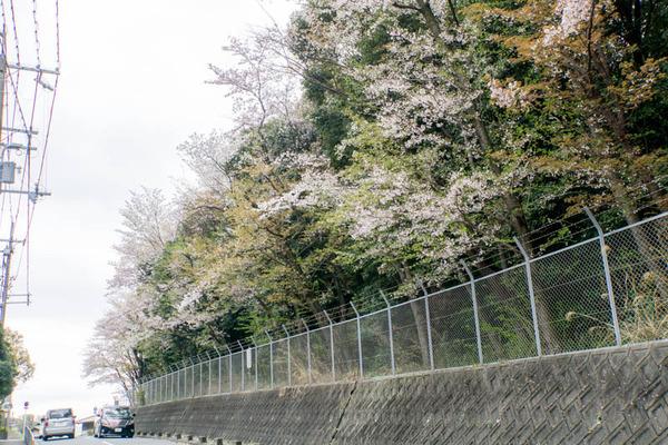桜2-1704122