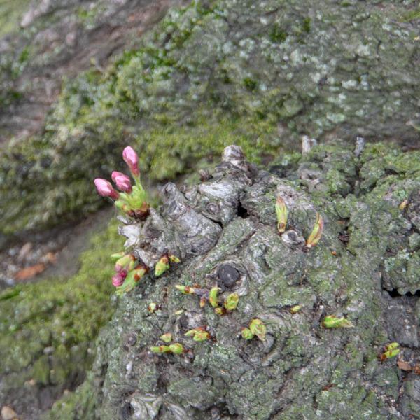背桜-19033029