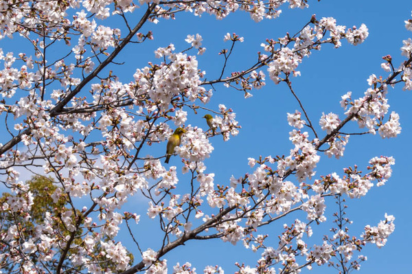 山田池桜の道-2103231-11