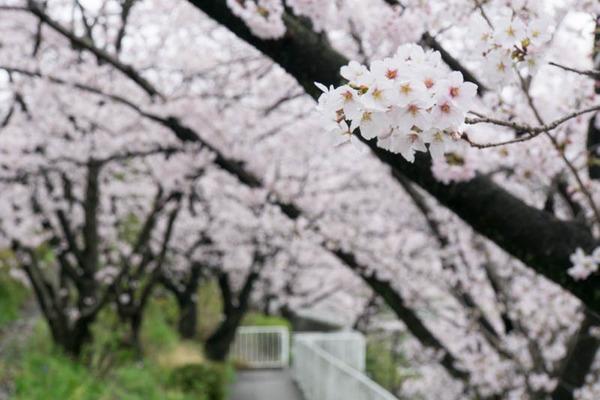 桜-1704074