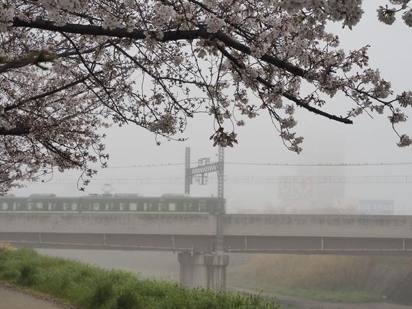 kiri_sakura-3