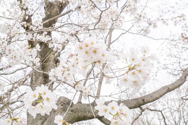 背桜道-1903301-13