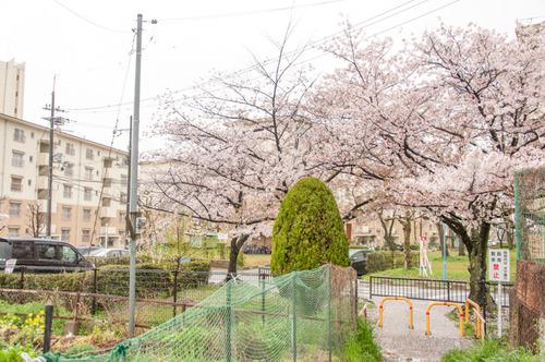 20150405桜丘村野桜-2