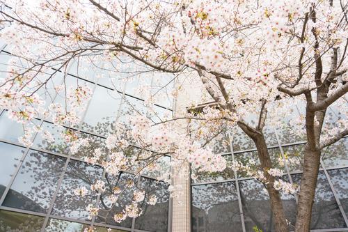 20150403歯科大桜-2