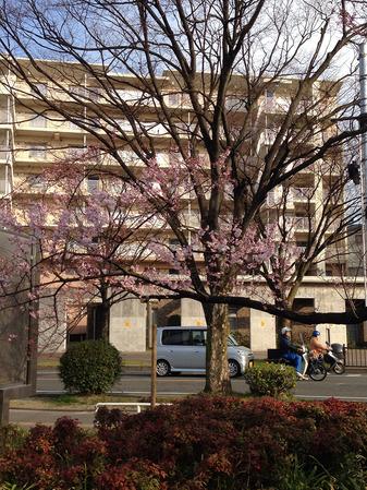 香里ケ丘の桜02