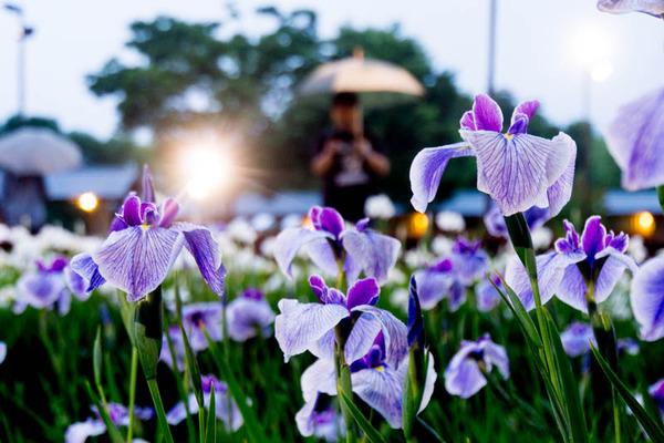 花しょうぶ-1606048
