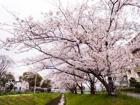 倉治桜堤-1404051