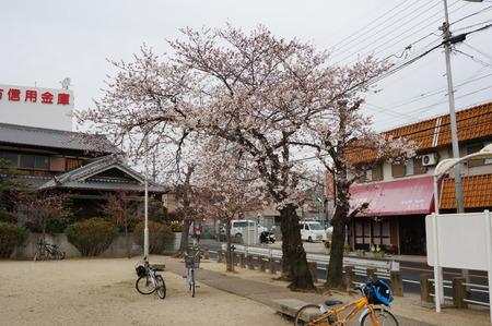 春日公園の桜130326-01