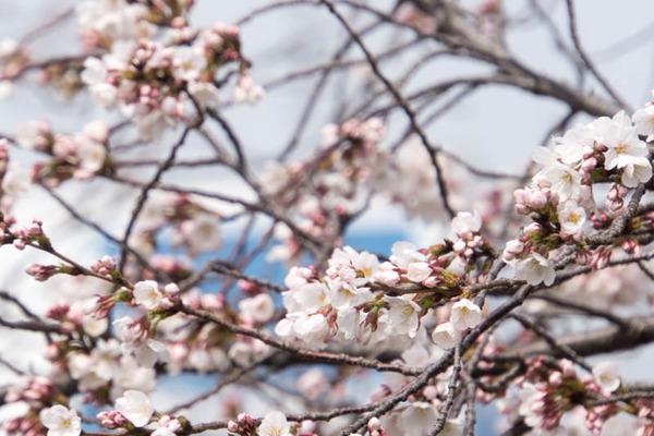 桜-1903293