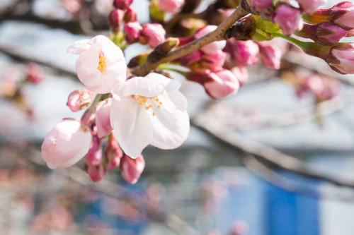 桜フェス-15033004