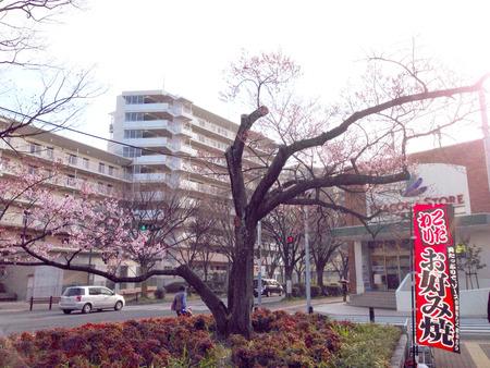 香里ケ丘の桜03