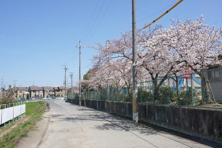 津田の桜-4