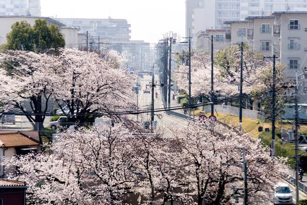 桜3-1803282