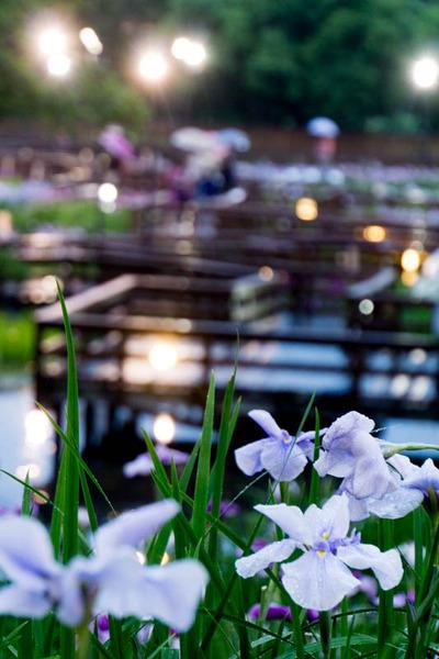 花しょうぶ-1606044