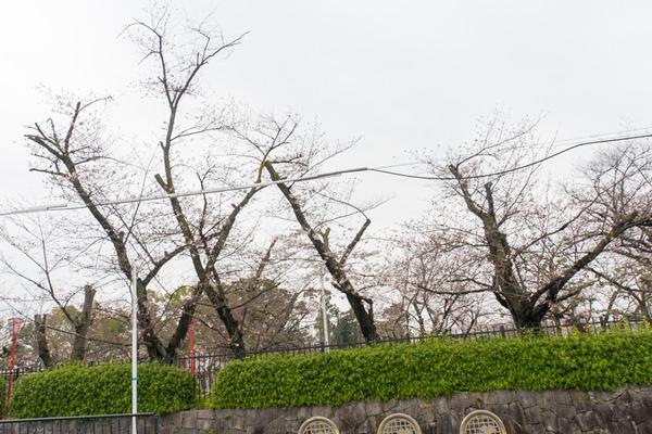 桜-2003271