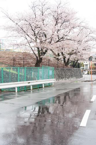 20150405桜丘村野桜-36