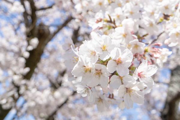 明るめ桜-1904051-3