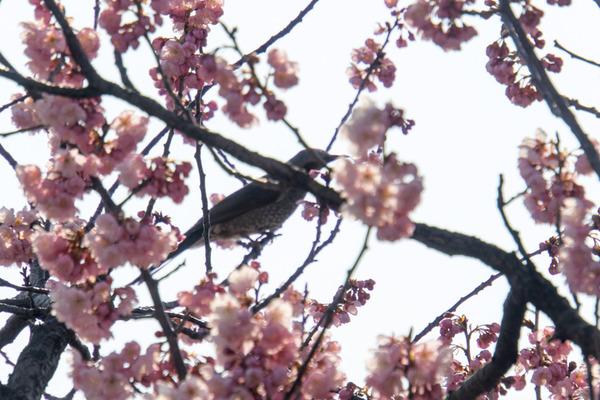 桜-16030302
