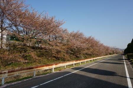 村野団地から郡津駅の桜130408-01