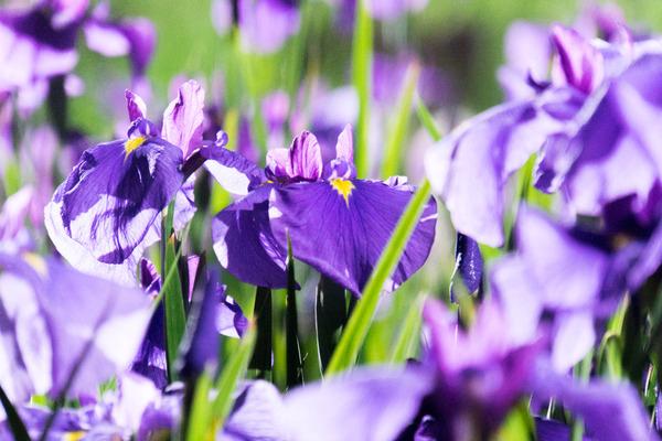 花しょうぶ-19060311