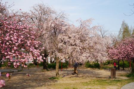 牧野公園の桜130410-04