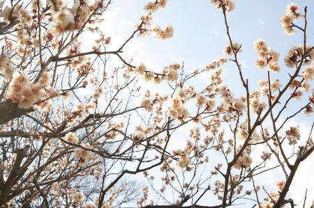 意賀美神社の梅-14