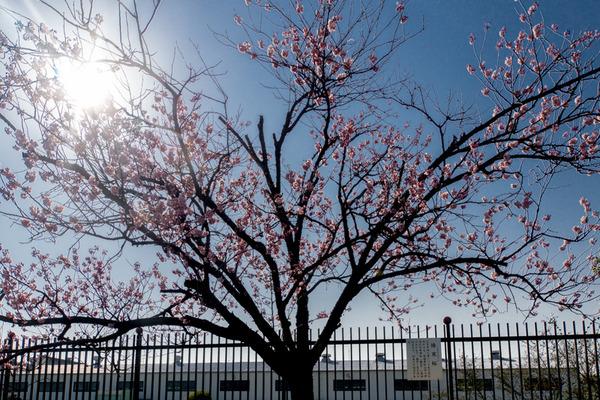 桜-16030301