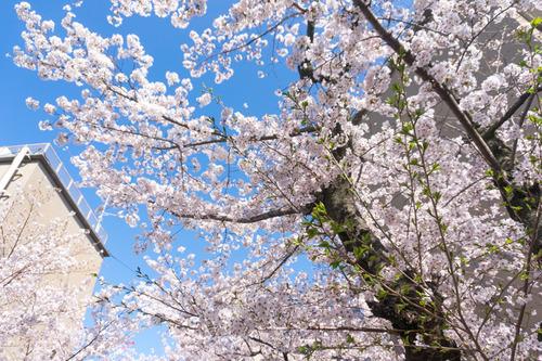 桜写真-6